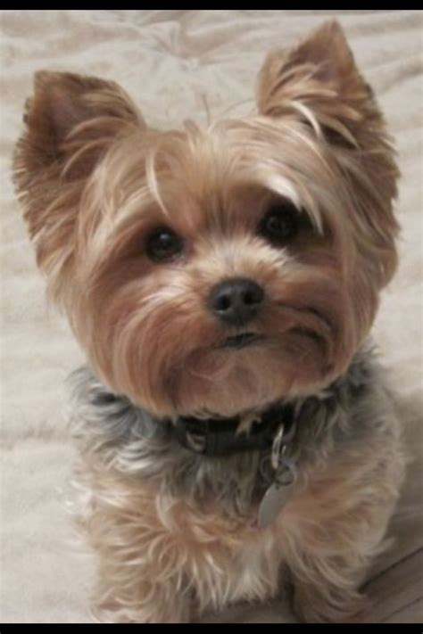 how to cut yorkie hair at home yorkie poo puppy cut best hair cut possible dog breeds
