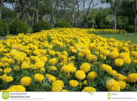 marigold flower garden marigold flower garden stock image image of growth
