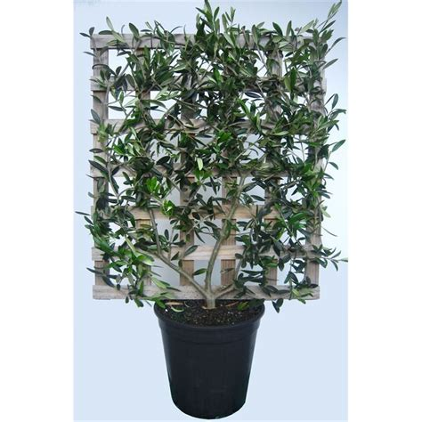 bunnings trees 250mm espalier olea europeae paragon olive tree i n