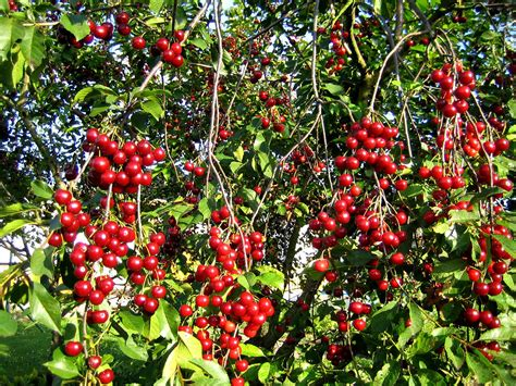 cherry tree b b ballyconnell free 樱桃树 stock photo freeimages