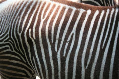 File Grevy S Zebra Stripes Jpg