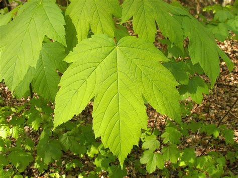 maple tree identification pictures maple trees names pictures and types of acer species