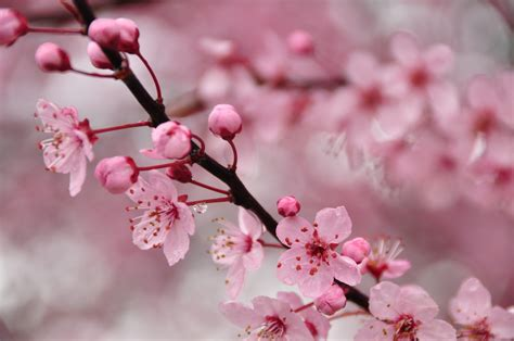 cherry blossom images the vintage perfume vault scented wanderings perfumes of
