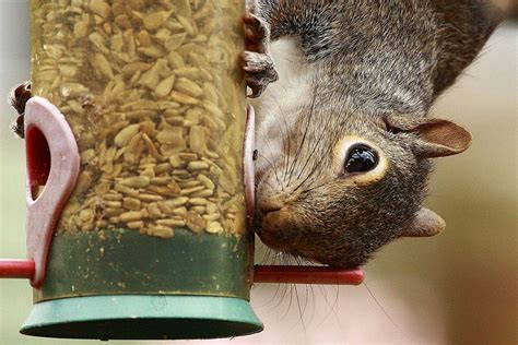 Ideas For Kitchen Diners tips for a squirrel proof bird feeder