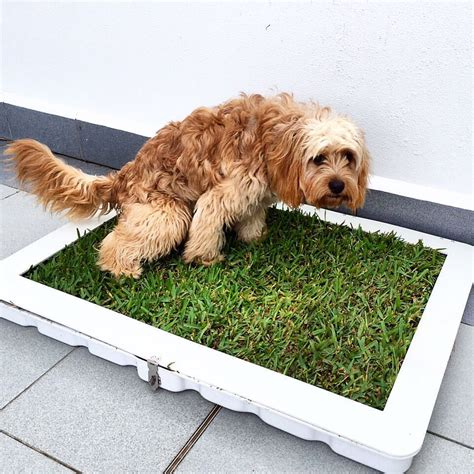 simson s thoughts on real grass toilet pitch potty plant