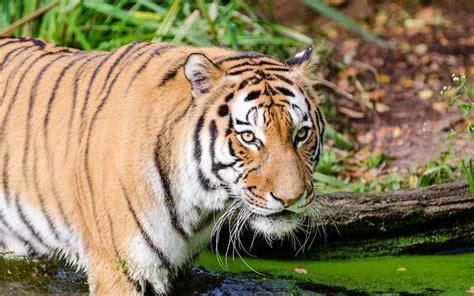 of tiger indochinese tiger facts habitat behavior diet population