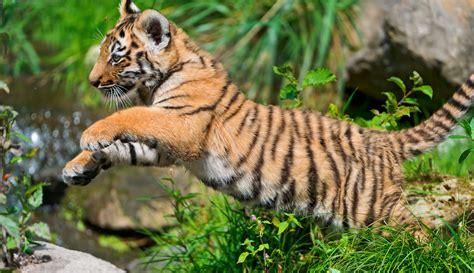of tiger tiger tigers photo 30651667 fanpop