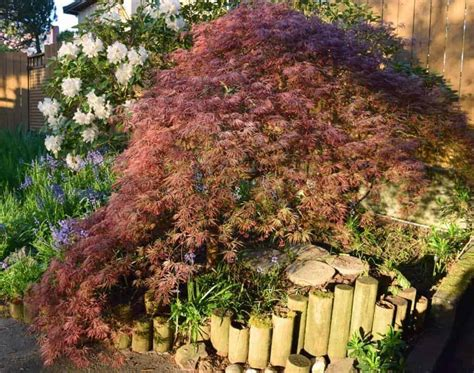 maple tree growing tips how to prune japanese maple trees the handyman s