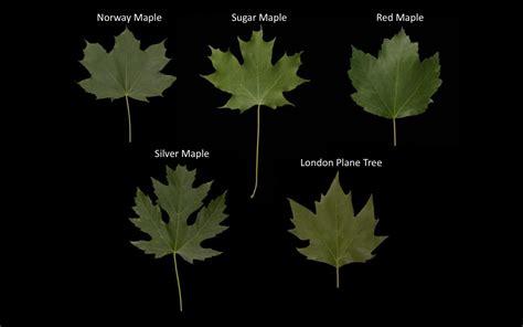 leaf idenification lesson part 2 sanders demott