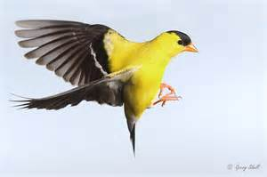 american goldfinch for the birds pinterest