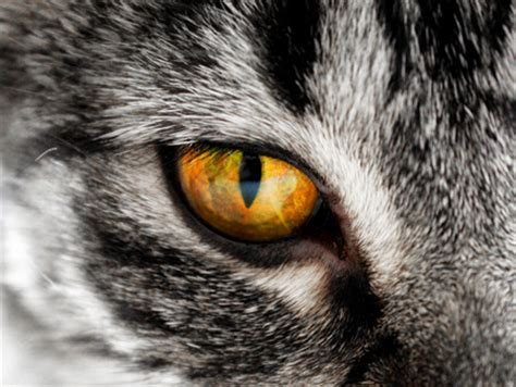 cat eye cat eye cats animals background wallpapers on desktop