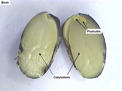 cut seed seed plants biowiki