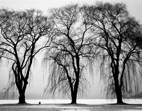 tree in white free stock photo of black and white branches three