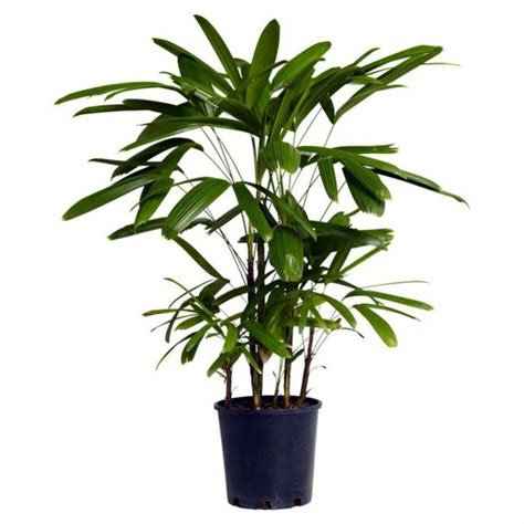 indoor palm palm species houseplants rhapis excelsa is one of the