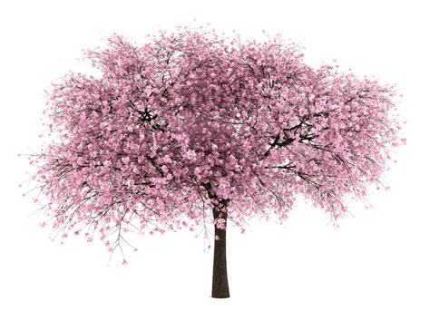 20 free tree png images cherry blossom entourage png cutouts tutorials