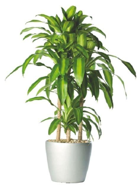 mejores plantas de interior las 18 mejores plantas grandes de interior