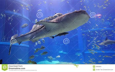 whale shark in osaka aquarium stock image image 19362823