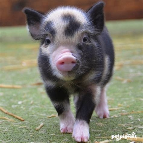 micro for sale micro pigs micro pigs for sale teacup pigs for sale