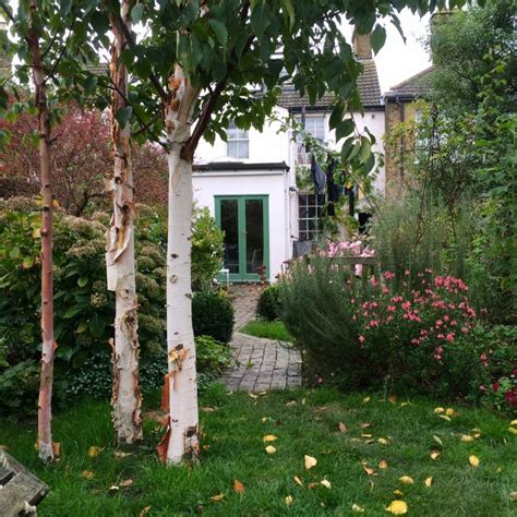 thin trees uk the 8 best for privacy garden trees the middle