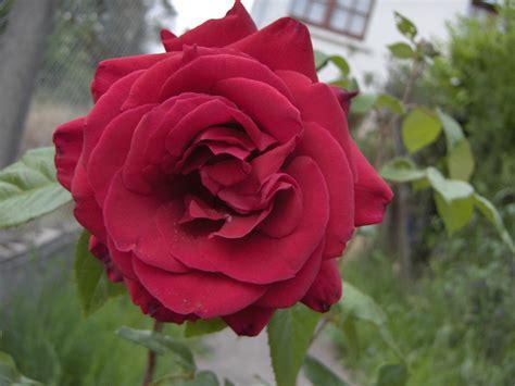 rosary made from roses file bimbo jpg wikimedia commons