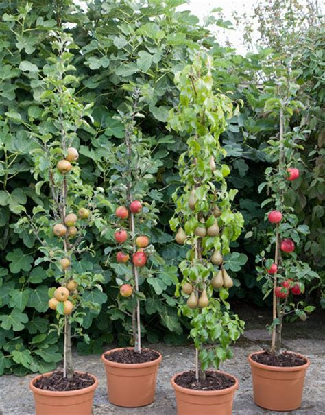 small trees for sale cordon fruit trees how to get the best harvest from a