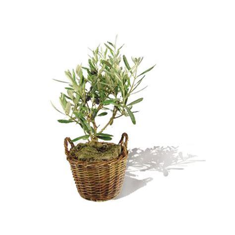 plant d arbre publicitaire plant d olivier en pot