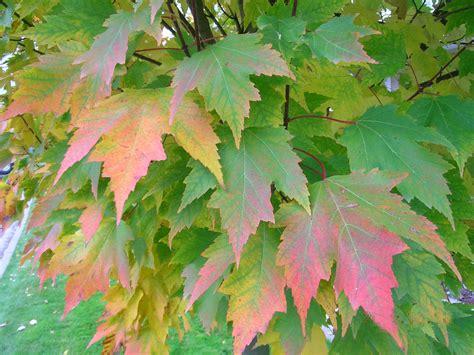 maple tree when to plant acer rubrum karpick hess landscape nursery finleyville pennsylvania