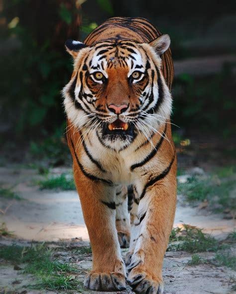 a tiger malaysian s pride pbf