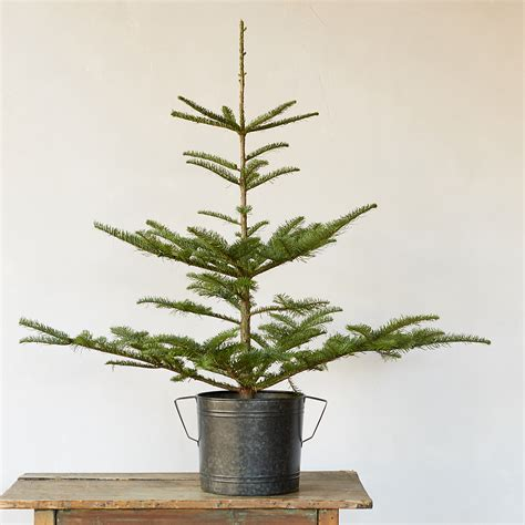 small tabletop tree 10 easy pieces tabletop trees gardenista