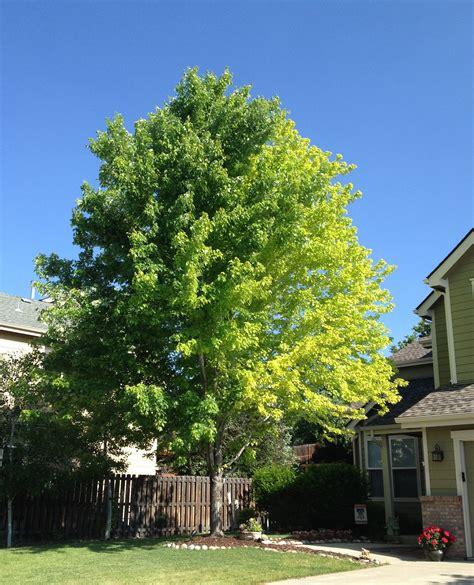 maple tree colorado 13 year autumn blaze maple problem ask an expert