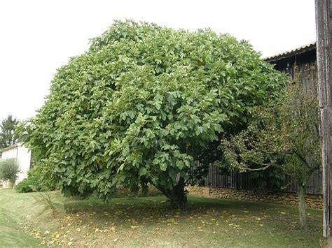pourquoi planter un figuier