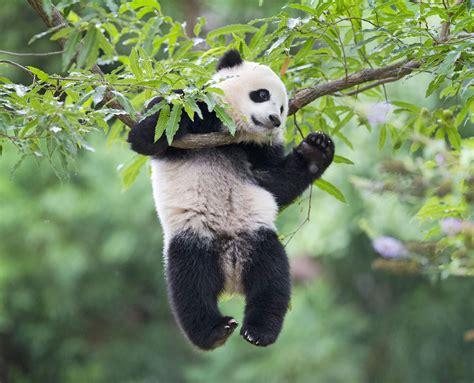 one panda america s favorite panda celebrates birthday