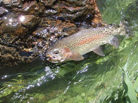 fishing trout deschutes river trout fishing fish