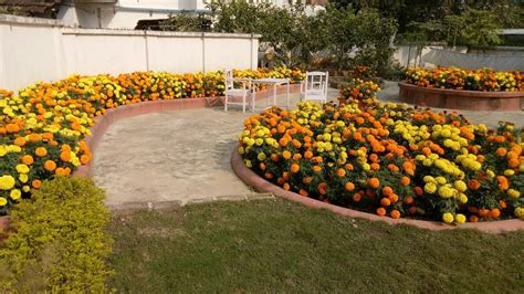 marigold flower garden beautiful home made marigold flowers garden of india
