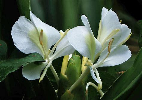 flower images photos of colombia flowers hedychium coronarium