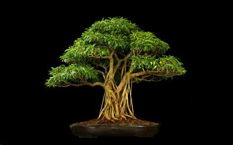 tree bonsai tree black leaves wallpaper 2560x1600