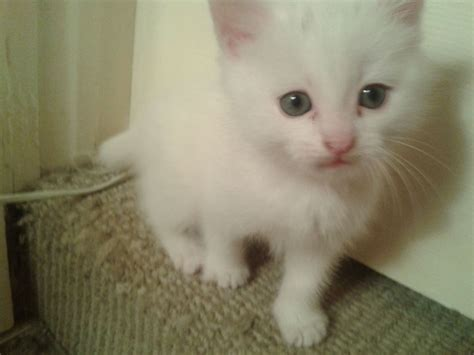 white sale stunning white kittens for sale minehead somerset