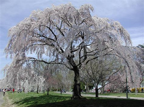 tree up dc cherry blossom tree washington dc another type of