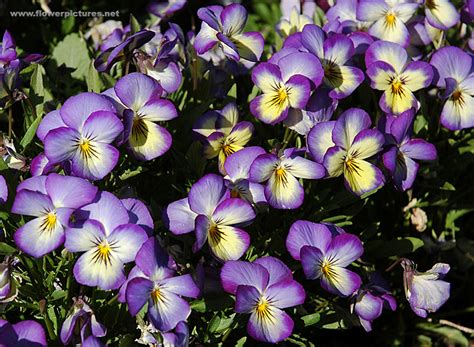 pictures of flowers pictures of flowers horned violet