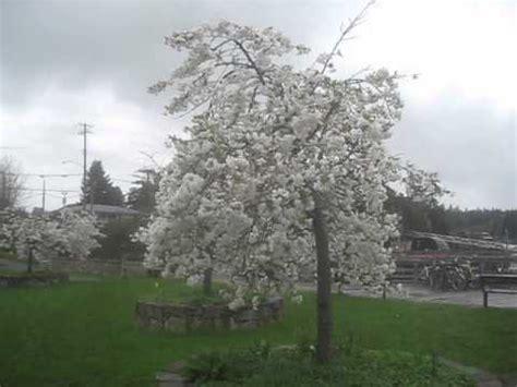 mt fuji cherry tree nz mt fuji flowering cherry trees canada