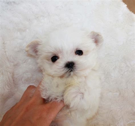 micro for sale teacup maltipoo puppies for sale california breeds
