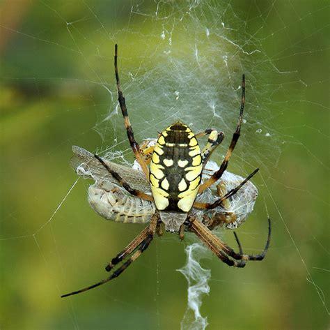 Garden Spider Prey Yellow Garden Spider With Grashopper Prey I M Not A Big