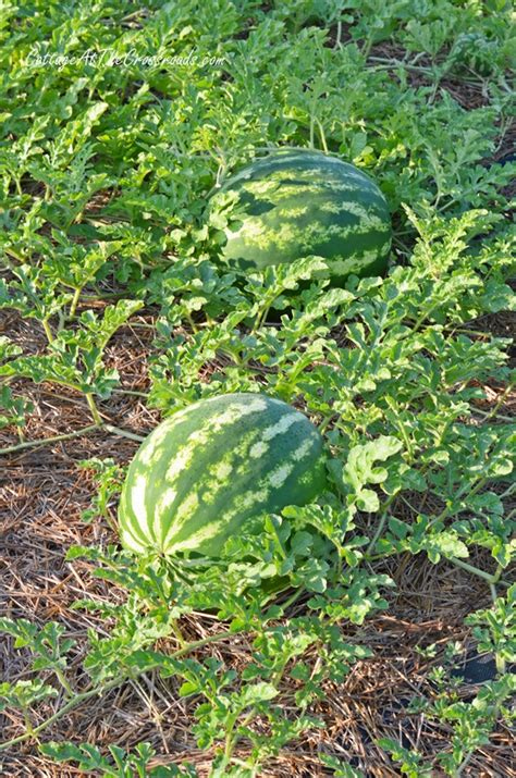 how to control the weeds in your vegetable garden