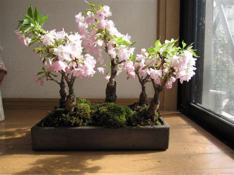 a cherry tree bonsai cobonsai rakuten global market cherry blossom cherry bonsai cherry delivered at trees cherry
