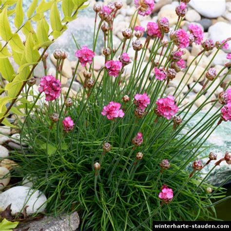 pflanze immergrün winterhart blühend grasnelke armeria maritima