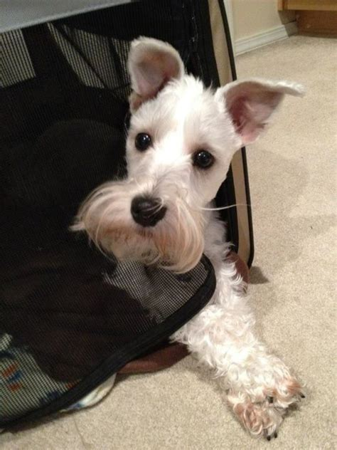 indiana adoption picture book miniature schnauzer puppies for sale in indiana