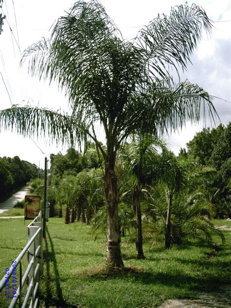 tree sales palm tree sales home