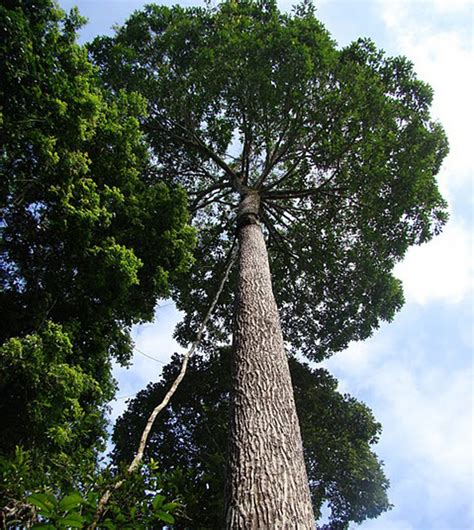 tree in brazil brazil nut tree voices