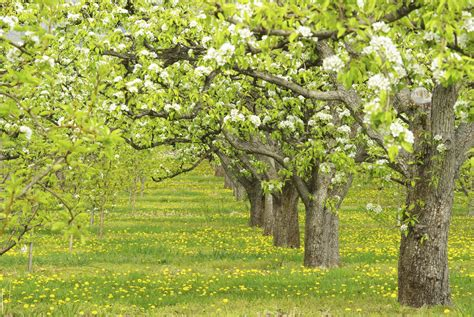 cross pollination pear trees which pear trees pollinate