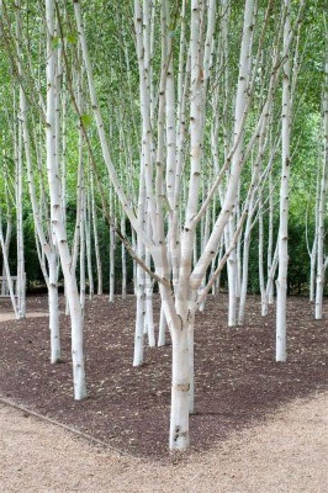 small silver tree a of silver birch trees they can be planted